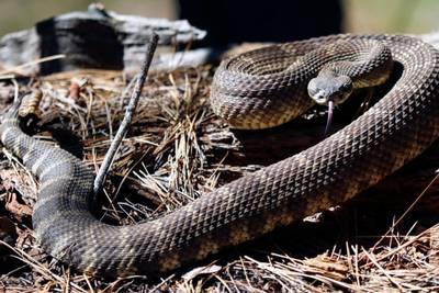 Snakes alive: 92 rattlesnakes retrieved from under California home